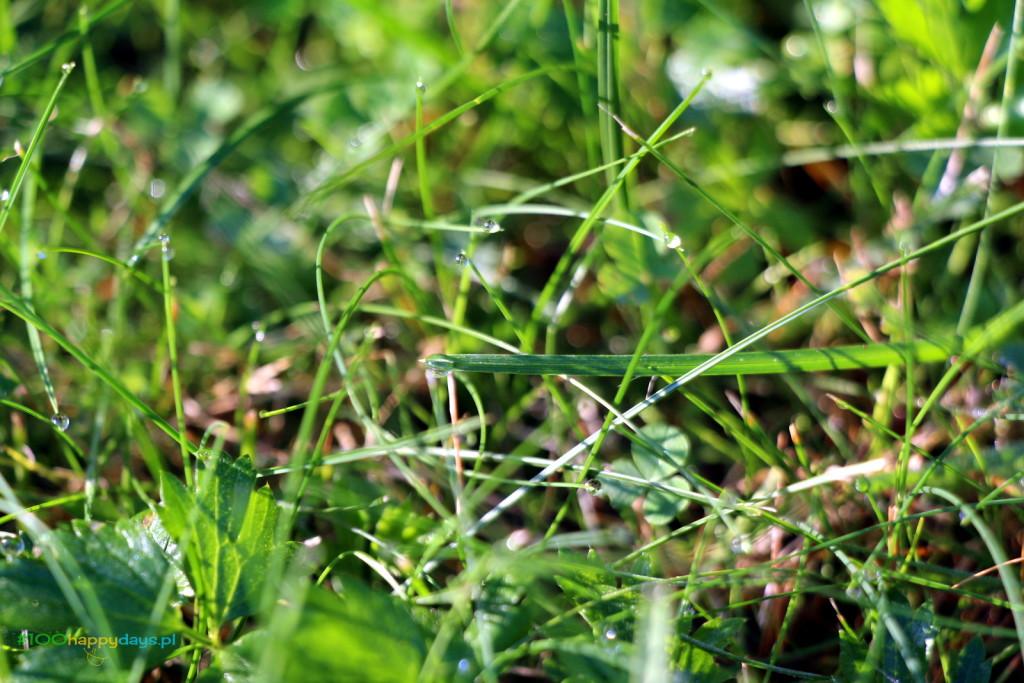 rosa na trawie_100happydays.pl